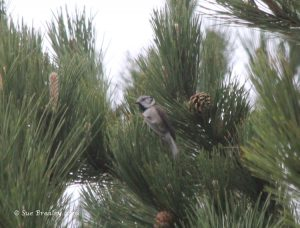 Crested Tit (Sue Brealey)