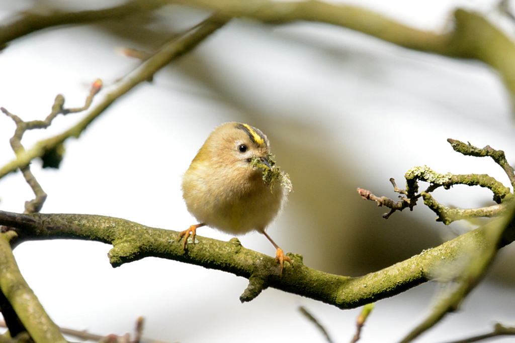 Goldcrest, Caer Caradoc area, 16 March 2016 (Yvonne Carrington)