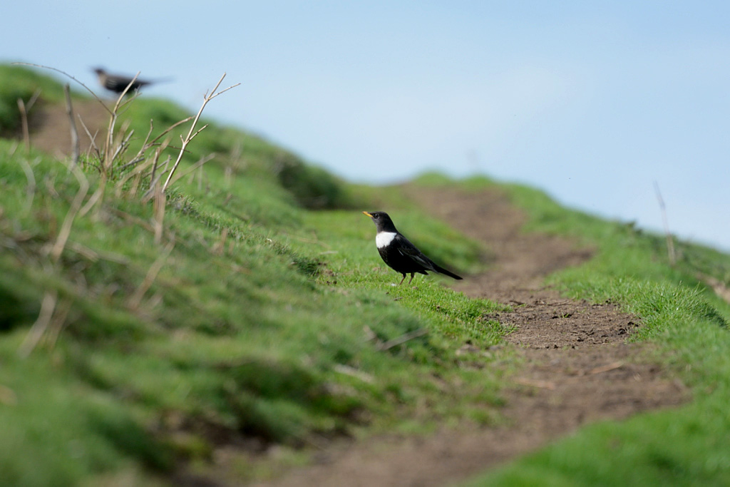 GY_2016_04_17_slopes of Caer Caradoc_DSC_6178 Ring Ouzel (pair)_YC