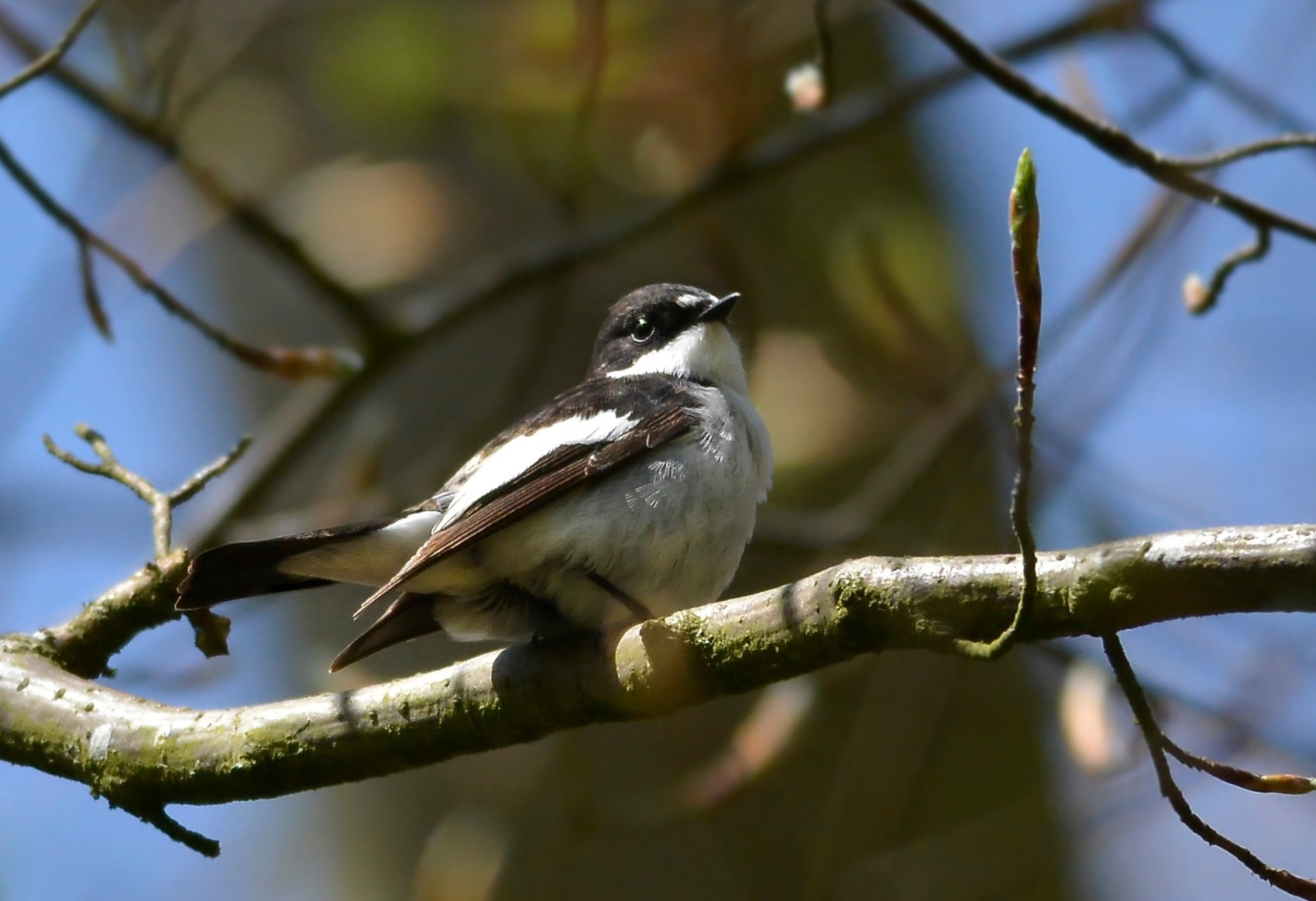 Pied Flycatcher (male), Darnford Valley, 3 May 2017 (Terry Arch)
