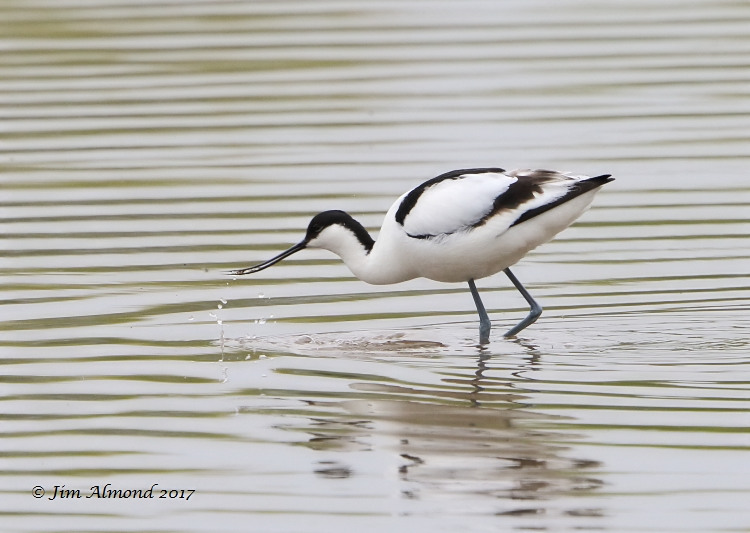 GY_Avocet feeding droplets Wood Lane 6 5 17_JA