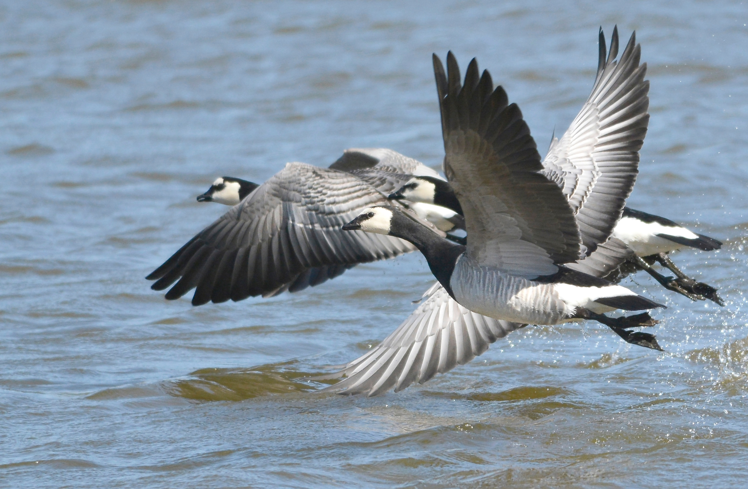 GY_Barnacle Geese - VP - 04-04-17