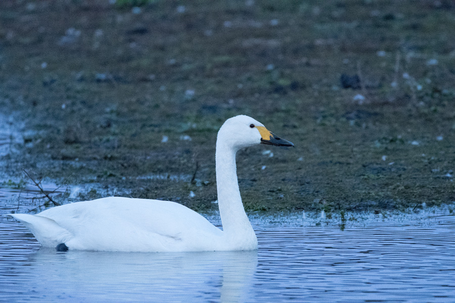 GY_Bewick Swan_AW