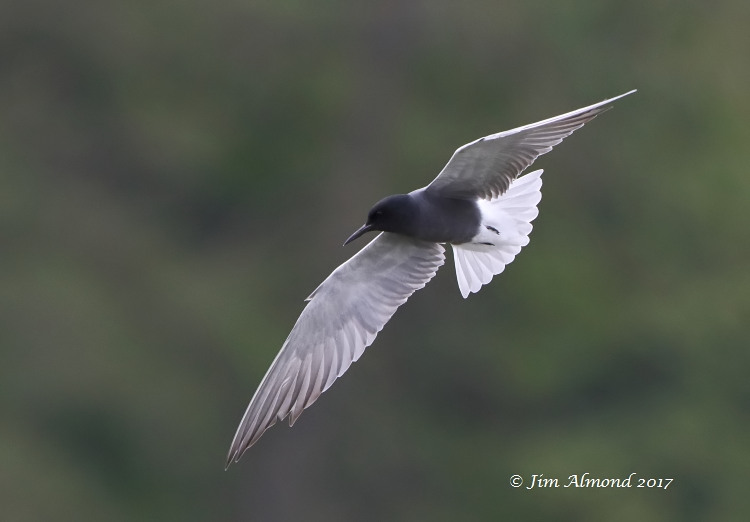 GY_Black Tern underwing banking Colemere 30 4 17_JA