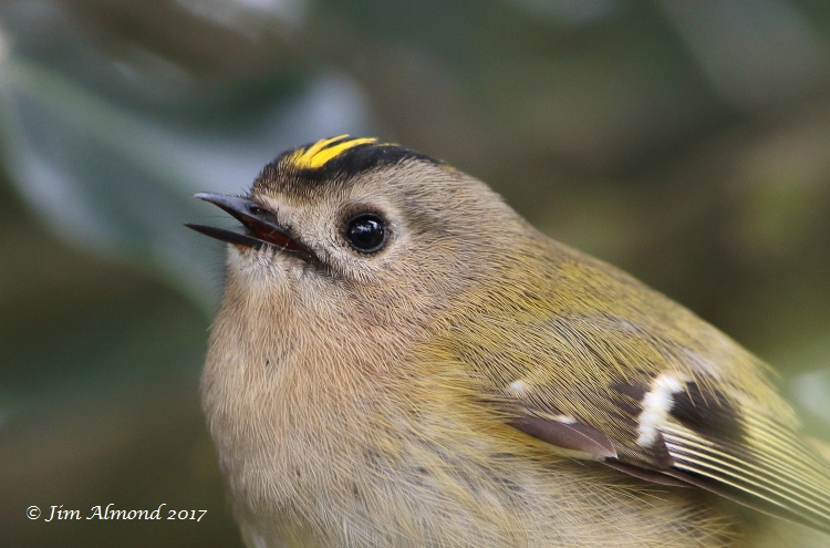 GY_Blog Goldcrest cu xxx Polemere 12 4 17 raw edit FA1A6552_JA