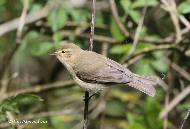 Iberian Chiffchaff. Granville, 4 April 2017 (Jim Almond)