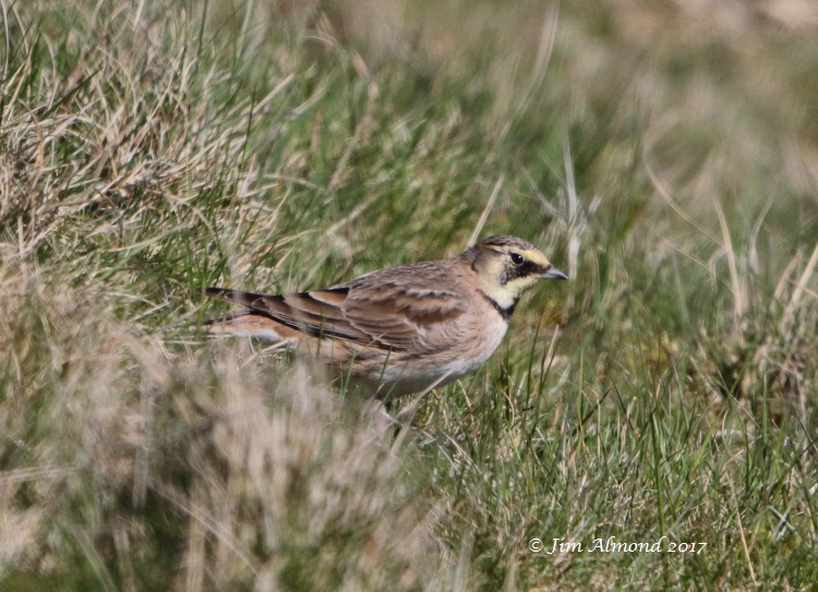 Shore Lark, Titterstone Clee, 8 April 2017 (Jim Almond)
