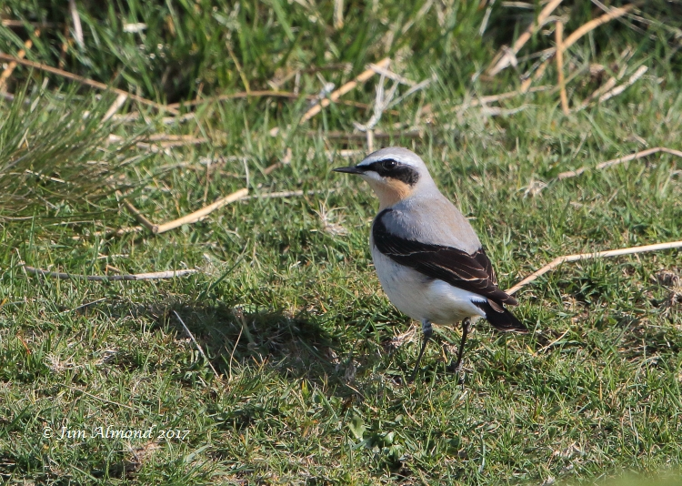 Wheatear (male), Titterstone Clee, 10 April 2017 (Jim Almond)