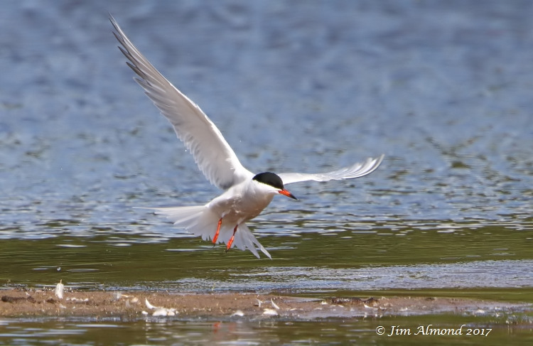 GY_Common Tern take off VP 15 6 17_JA - Copy