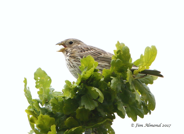 GY_Corn Bunting (1) Isombridge 11 5 17_JA