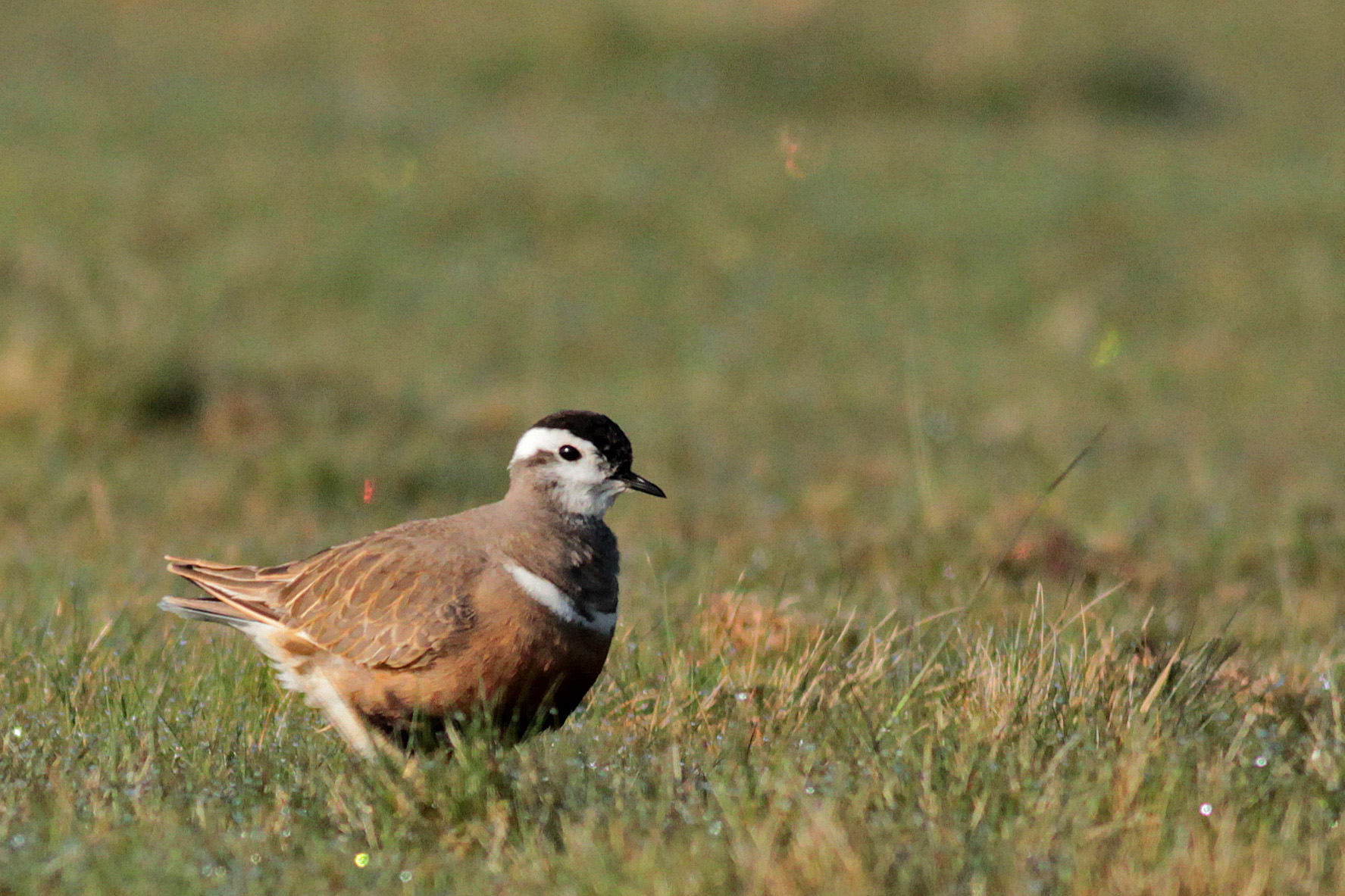 GY_Dotterel Long Mynd 07-06-17_MD