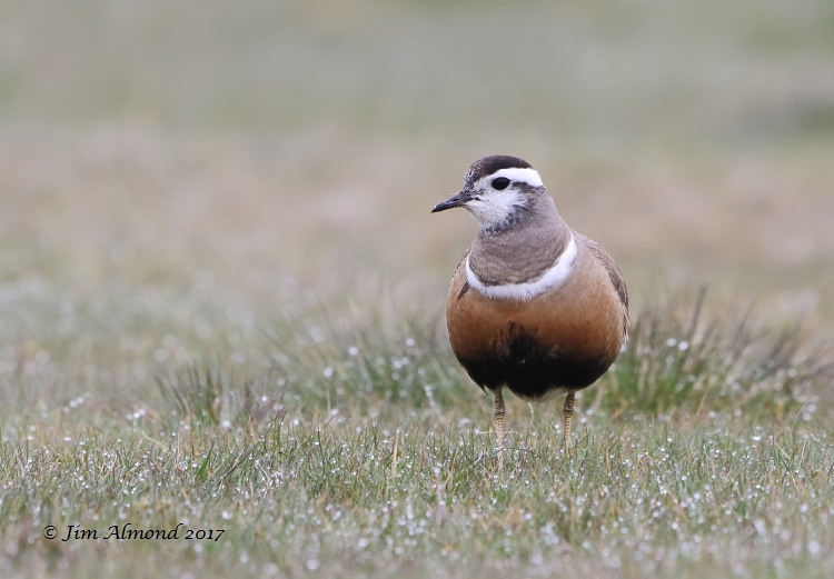 GY_Dotterel female Longmynd 6 5 17_JA