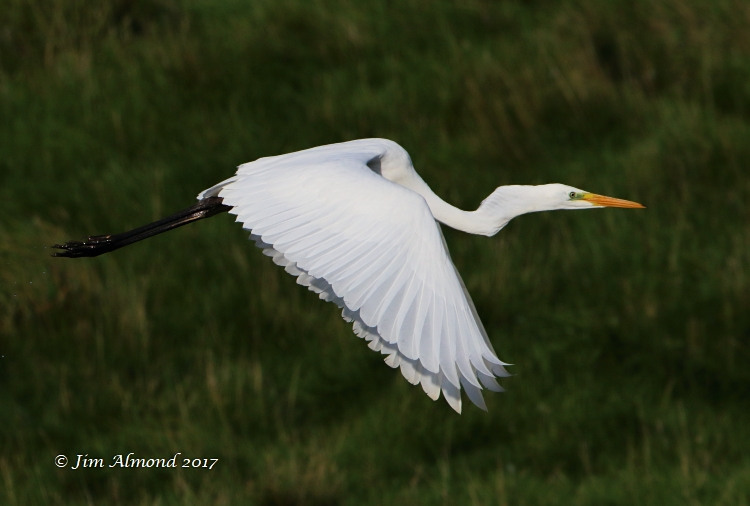 GY_Great White Egret Tittensley Pool Shropshire 24 8 17JA