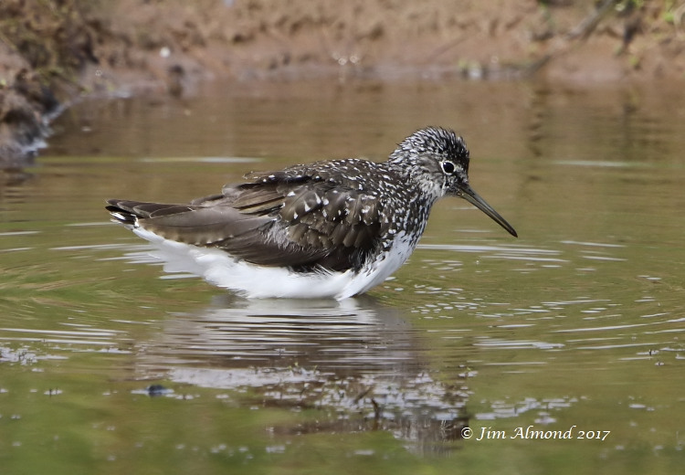 GY_Green Sandpiper VP 14 7 17_JA - Copy