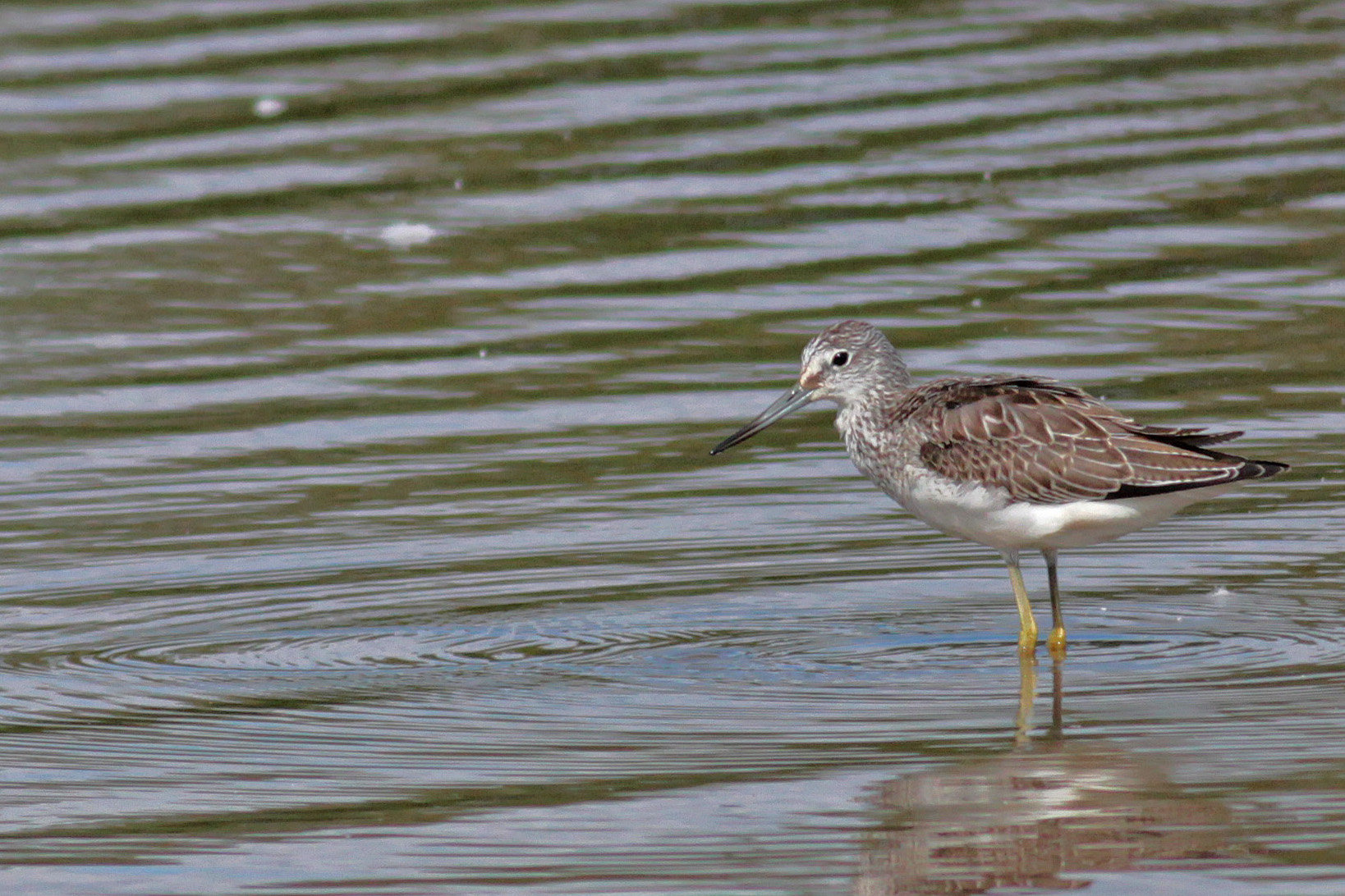 Greenshank, Venus Pool, 30 August 2016