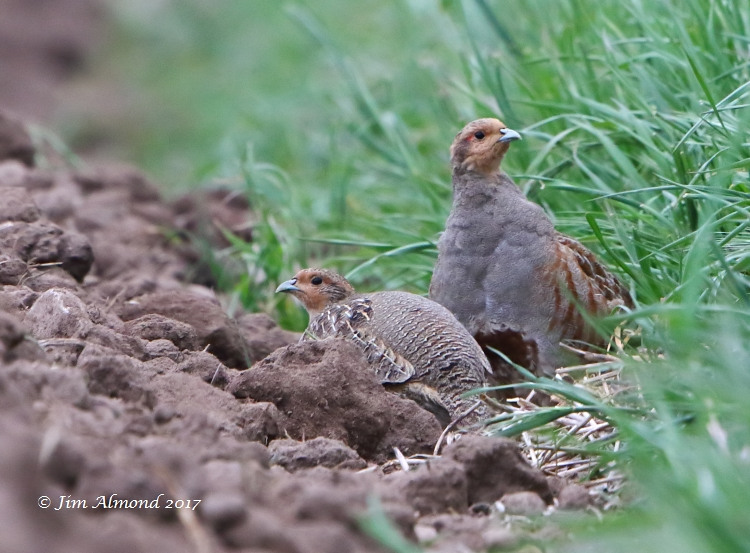GY_Grey Partridge x 2 Isombridge 11 5 17_JA