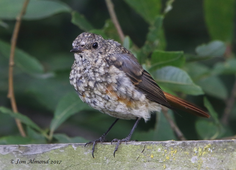 GY_Redstart juv Wood Lane 27 7 17 JA