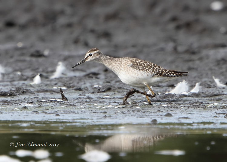 GY_Wood Sandpiper Brown Moss 25 8 17 JA